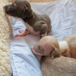 Italian greyhound puppy, chicago italian greyhound, chicago itailan greyhound puppy, italian greyhound puppies, italian greyhounds, chicago italian greyhounds, italian greyhound shelter, itailan greyhound rescue, chicago italian greyhound rescue, adopt, adoption