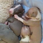 rescued italian greyhound puppies, Italian greyhound puppy, chicago italian greyhound, chicago itailan greyhound puppy, italian greyhound puppies, italian greyhounds, chicago italian greyhounds, italian greyhound shelter, itailan greyhound rescue, chicago italian greyhound rescue, adopt, adoption