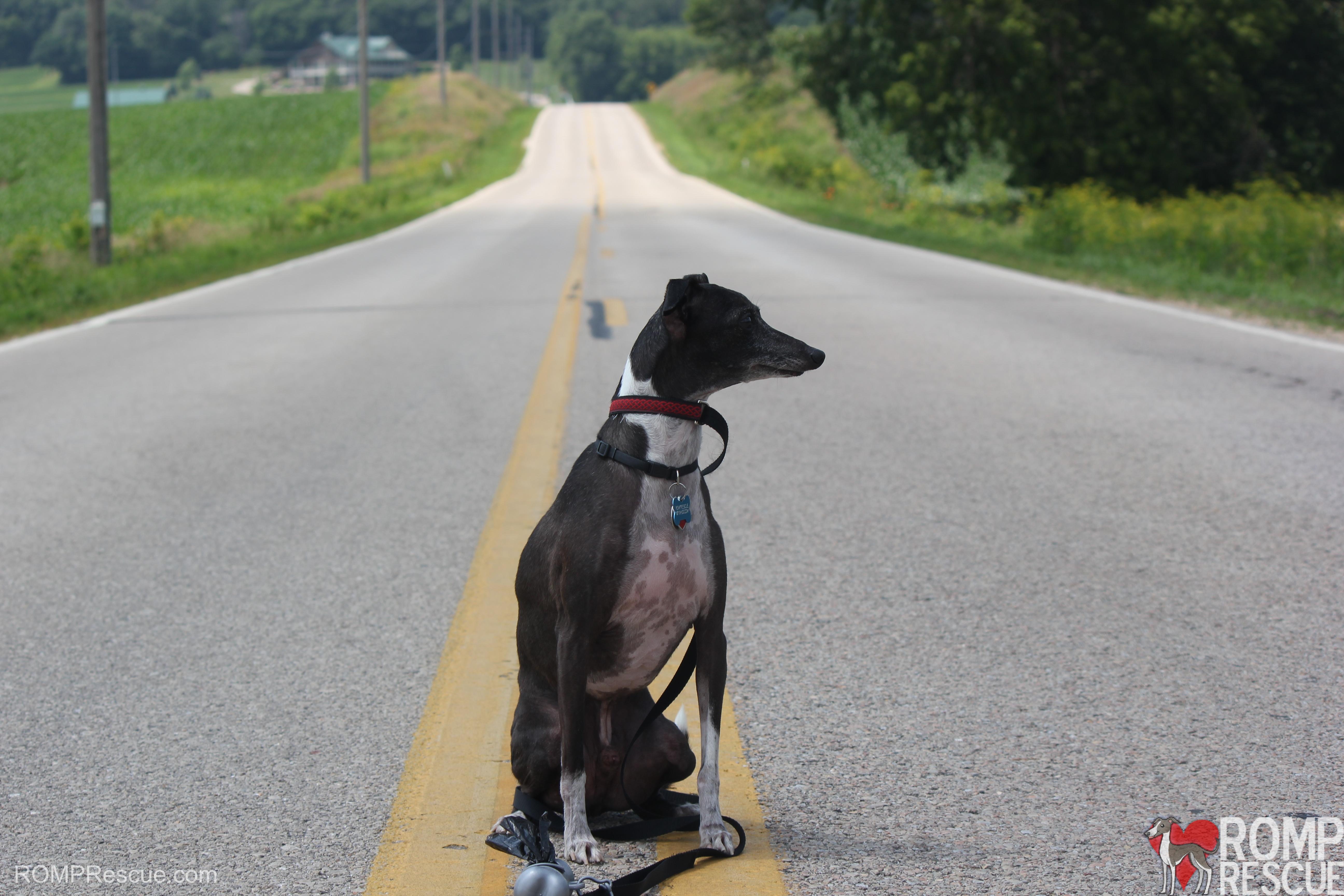 Italian greyhound surrender, surrender itailan greyhound, italian greyhounds, italian, greyhound, itailan greyhounds, italian greyhound, italian greyhound relinquish, relinquishing your italian greyhound, giving up your italian greyhound, giving up, giving back, surrender, relinquish, chicago itailan greyhound surrender, indiana, illinois, wisconsin, chicago, indy, wisc, ill