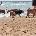 Montrose dog beach, chicago dog beach, illinois dog beach, italian greyhound beach, italian greyhound rescue, italian greyhounds, chicago italian greyhounds, chicago italian greyhound play date, chicago italian greyhound meetup, italian greyhounds beach, beach, iggy, ig, chicago, illinois, rescue, romp rescue