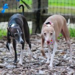 Italian Greyhound, chicago italian greyhound, italian greyhound meetup, italian greyhound play date, italian greyhound playdate, free, wood dale, schaumburg, tinley, dog park,