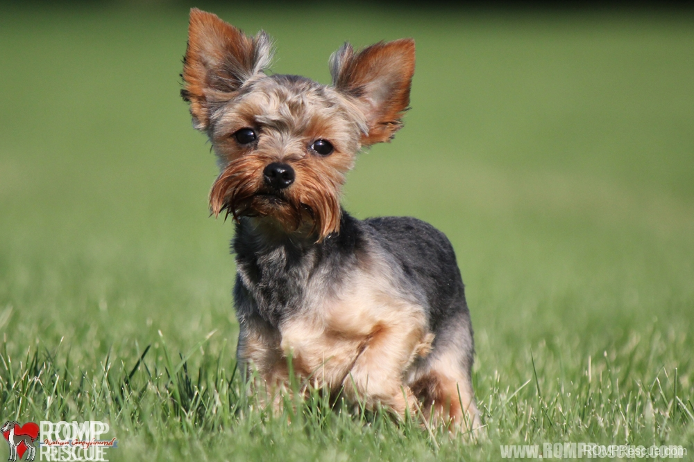 Yorkie adoption, chicago yorkie puppy, yorkie puppy, yorkie rescue, chicago yorkie rescue