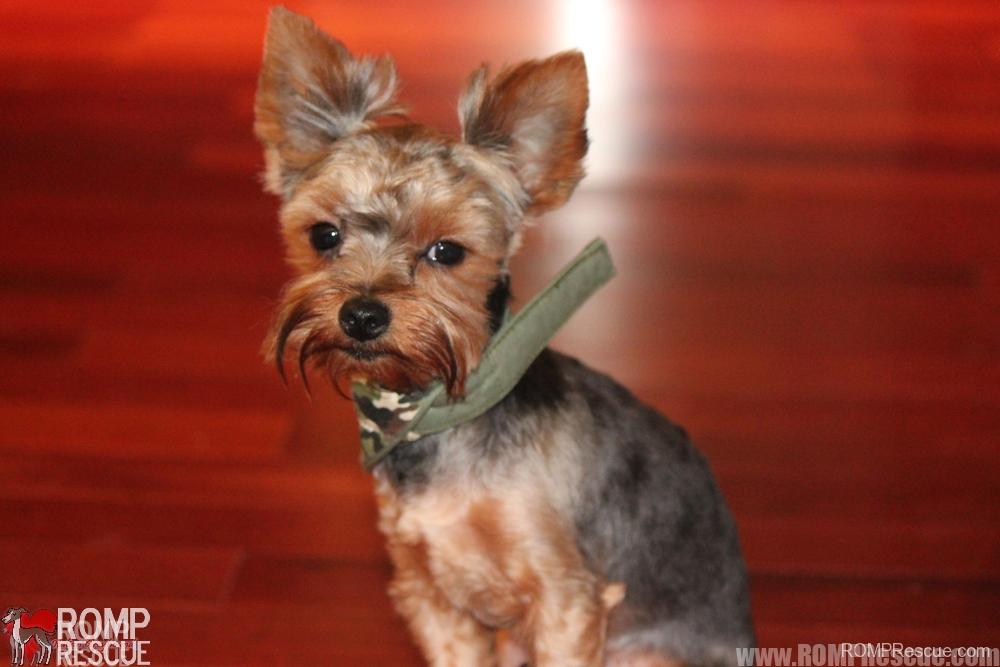 yorkie puppy, chicago, illinois, rescue, adoption