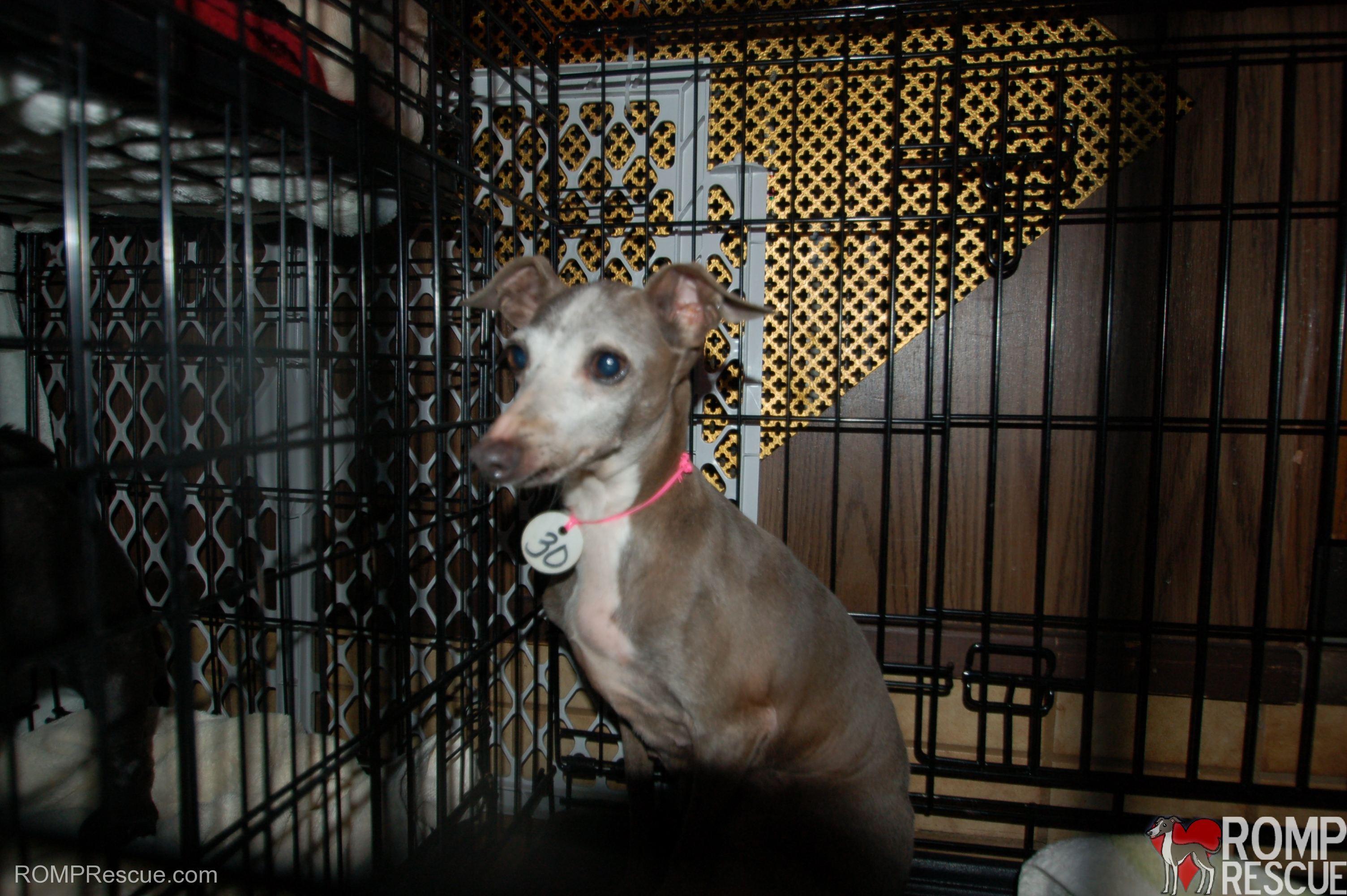 Italian greyhound, italian greyhounds, chicago italian greyhound, chicago mill rescue, chicago mill dog rescue, chicago dog rescue, chicago rescue, chicago iggy, chicago ig, chicago itlaian greyhound rescue, italian greyhound rescue, kai, saved from a mill, puppy mills, puppy mill rescue