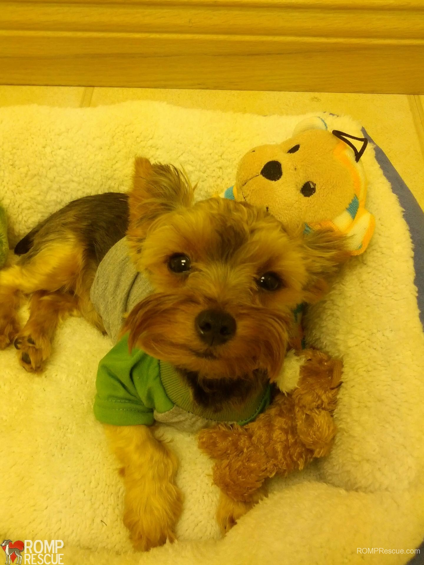 Chicago Yorkie Rescue, Chicago teacup yorkies, teacup yorkies, chicago, yorkie, yorkies, teacup, tea cup, puppy, puppies, rescue, adopt, available, shelter