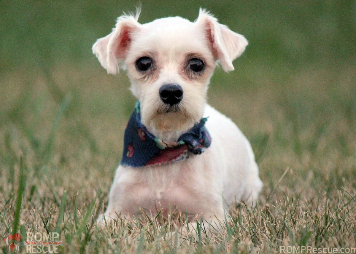 Chicago Maltese Rescue, Chicago Maletese dog, adopt a maltese, maltese adoption, chicago maltese adoption, mill rescue, romp rescue, male, boy, white, small, tiny, teacup, cute, adorable, sweet, shy