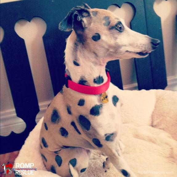 Ziggy the Italian Greyhound as Pongo the Dalmatian