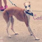 senior, italian greyhound, chicago, rescue, shelter, adopt,adoption, catdog, save, adopted, female, adult