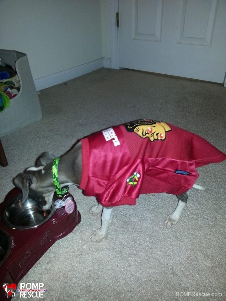 Italian Greyhound puppy adoption