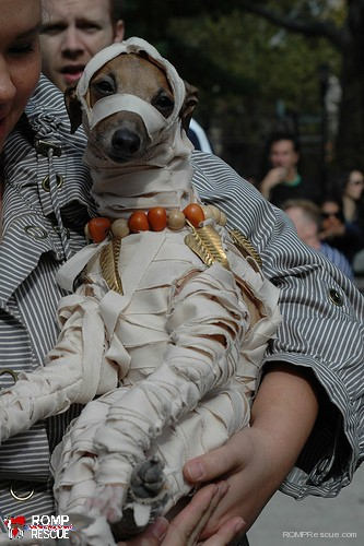 Italian, greyhound, halloween, costume, outfit, 2013