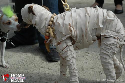 Italian, greyhound, halloween, costume, outfit, 2013, mummy