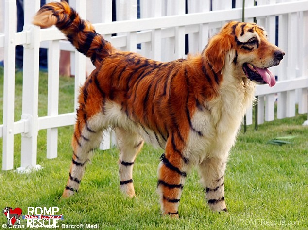 pet paint, dog paint, halloween costume, lion, tiger, painted tiger, dog as tiger, animal, animals, fur, pet safe paint, pet paints