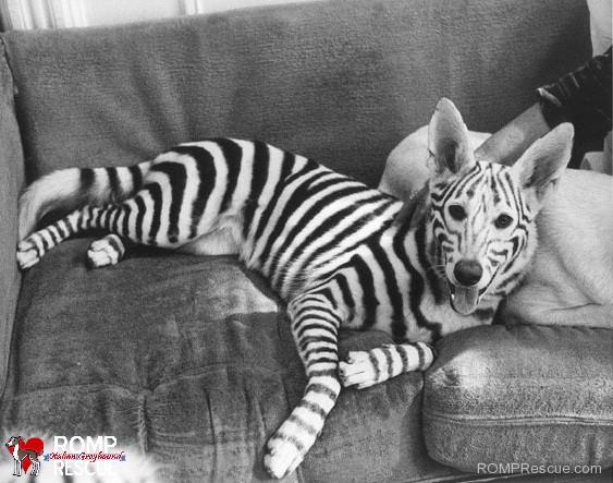 pet paint, dog paint, halloween costume, zebra, zebras, painted, painted halloween costume