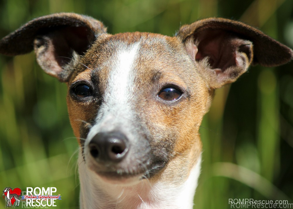 Wisconsin italian greyhound rescue, italain greyhound, hope, chicago, illinois, surrender, female, puppy, young, chestnut, red, shelter, adopt, adoption