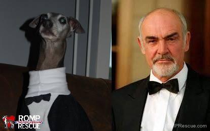 italian greyhound doppelganger, giraffe, italian greyhound, italian, greyhound, funny, cute, hilarious, lookalike, look a like, looks like, sean connery, dog