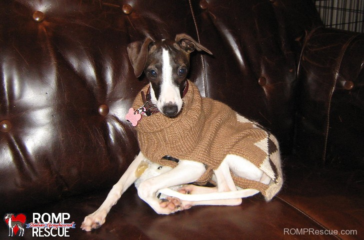 Italian greyhound funny, funny italian greyhound, italian greyhound turtleneck, italian greyhound turtle neck, turttle neck italian greyhound, turtleneck, turtle neck, italian greyhound, italian, greyhound