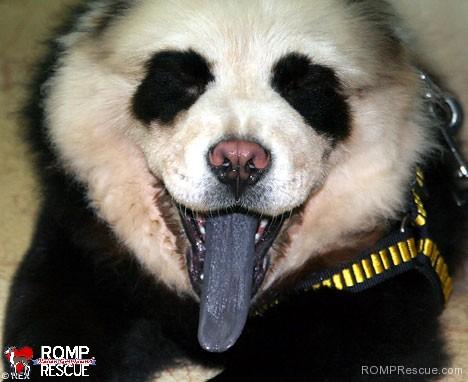 pet paint, dog paint, halloween costume, pet safe paint, pet paints, panda, panda dog