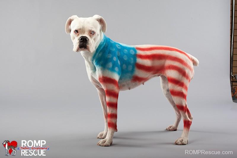 pet paint, dog paint, halloween costume, pet safe paint, pet paints, american flag, flag, fourth of july, patriotic, costume, outfit