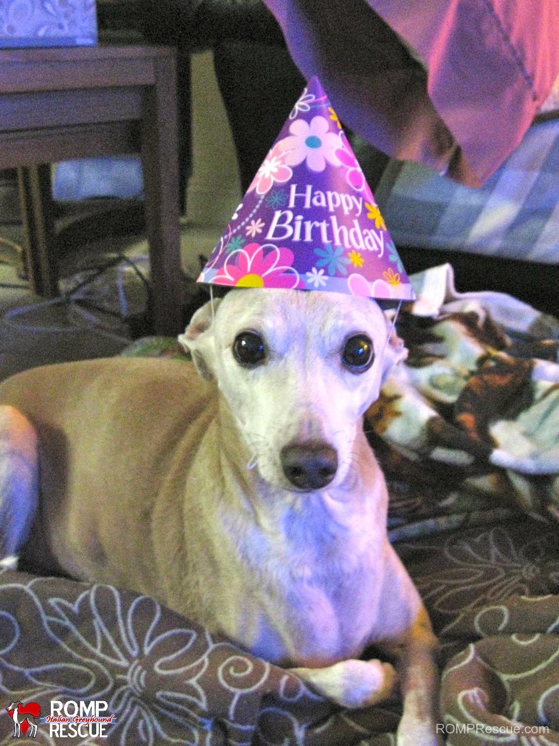 italian greyhounds celebrating their birthday, birthday, italian greyhound, hat, celebrate, italian, greyhound, happy, party, gotcha day, day, birth, born, adoption
