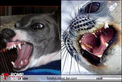 italian greyhound doppelganger, giraffe, italian greyhound, italian, greyhound, funny, cute, hilarious, lookalike, look a like, looks like, seal