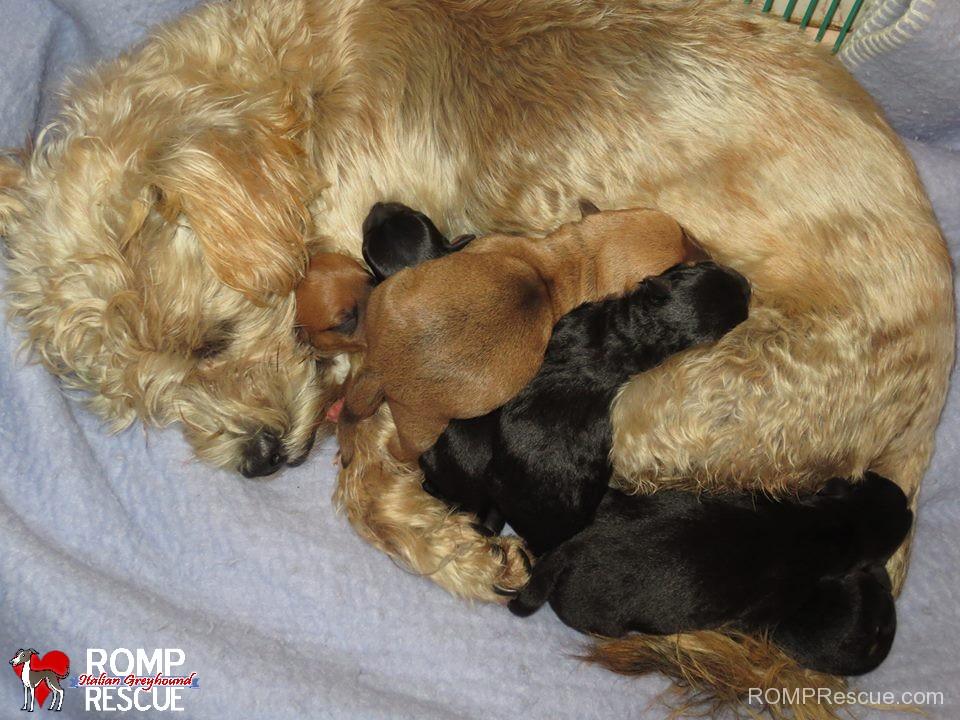 dixie, pregnant, stray, nashville, chicago, mutt, mix, transport, Puppy Rescue, chicago Puppy Rescue, Puppy Rescue chicago