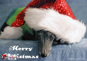 Italian Greyhound Christmas Cards, Italian Greyhound Christmas card, rescue, greyhound, italian, sleigh, chicago, il, romp rescue, holiday, greeting, merry, howliday, card, cards