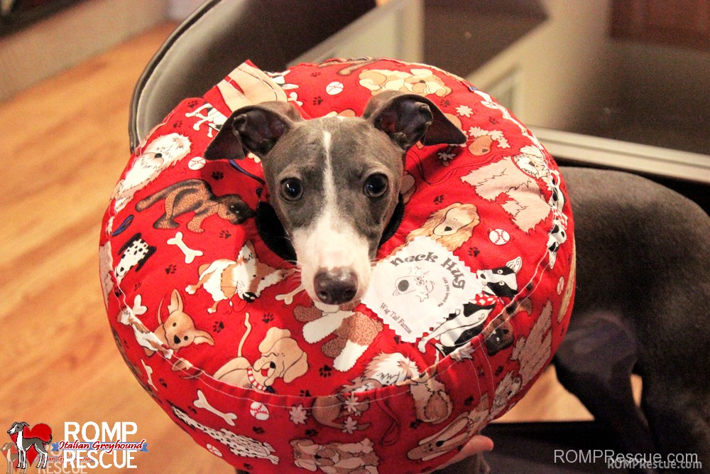 Megaesophagus Neck Hug by Wag Tail Farms Coupon Code, megaE, megae dog, ME dog, condition, megaesophagus, megae dog, italian greyhound, dog, dog,s pet, canine, diagnosis, help, support, suggestions, how to, products, neck hug, super neck hug, neck pillow, stop,