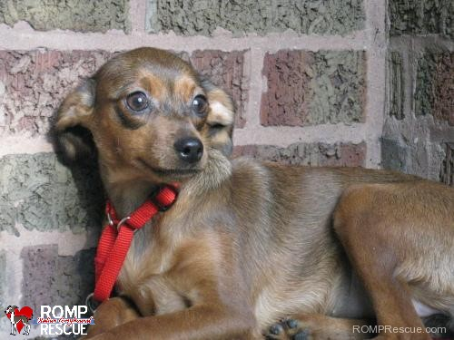 female, dog, rescue, shelter, chicago, illinois, spaniel, chicago spaniel, spaniel mix, mix, female, pup, young, adopt, adoption