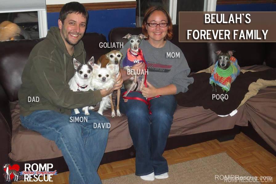 Chicago Italian Greyhound Adoptions, chicago, shelter, adopt, adoption, rescue, romp, iggy, ig, miniature greyhound, chicago