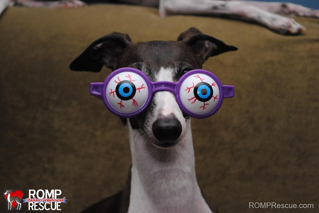 Found out they were Adopted, dog, adopted, italian greyhound, scared, adopt, shelter, chicago, brothers, iggies, sisters, italian greyhounds, rescued, adopted, IGs, romp rescue