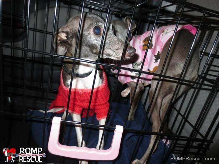 rescue, transport, rescue transport, italian greyhound, roadtrip, road trip, illinois, chicago, igca, iggy, shelter, help, volunteer