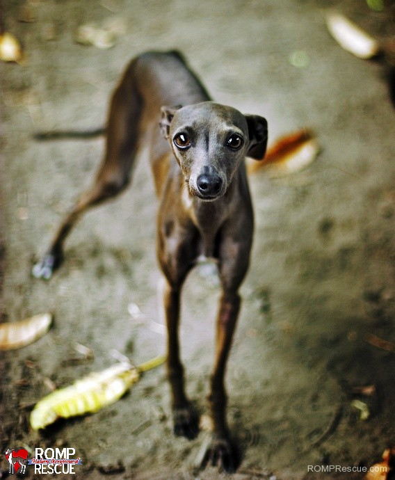 dog, adopted, italian greyhound, scared, adopt, shelter, chicago, brothers, iggies, sisters, italian greyhounds, rescued, adopted, IGs, romp rescue
