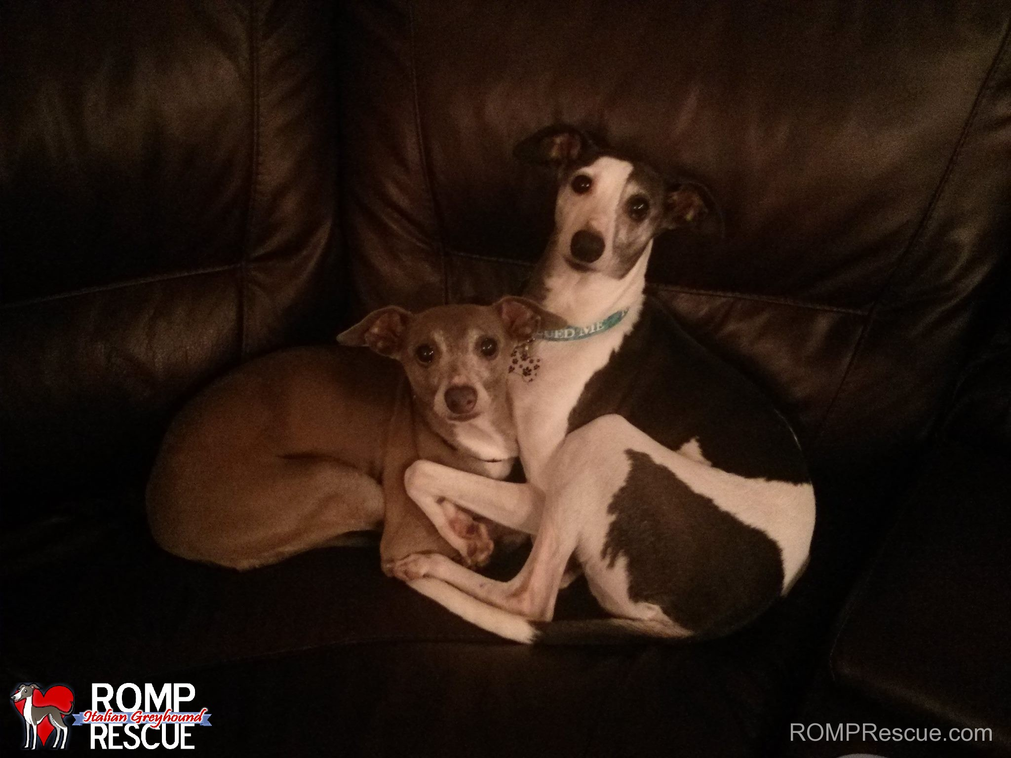 Adopt an Italian Greyhound, Fred and jupiter, italian greyhound, rescue, italian greyhounds, igca, illinois, chicago, romp rescue, brothers, shelter, save, biggie iggies, iggy, igs, wheatland, animal, hospital