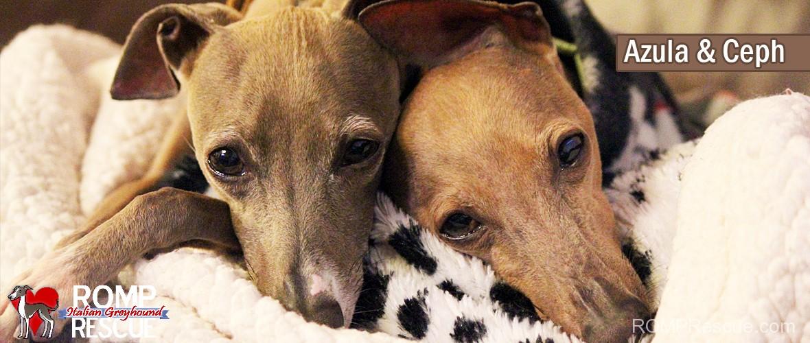 Italian Greyhounds for adoption, Ceph & Azula, ceph, azula, chicago, illinois, romp rescue