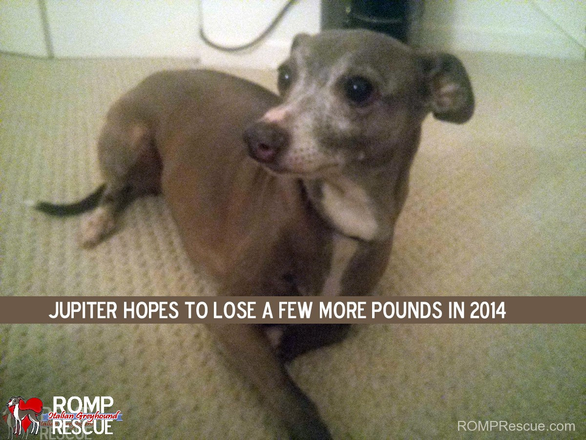 new years resolution, 2014, dog, funny, italian greyhound, chicago, illinois, shelter, rescue, dogs, dog, pet, pup, rescued, rescues, dogs new years resolution, new years resolution for dog, funny, silly, hilarious, meme