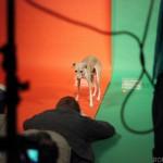italian greyhound, italian greyhound, chicago, rescue, puppy bowl, puppy bowl x, animal planet, romp rescue, romp italian greyhound rescue, media, news, tv, sharpie, taser, puppies, puppy, redeye, news, photo, video, shoot,