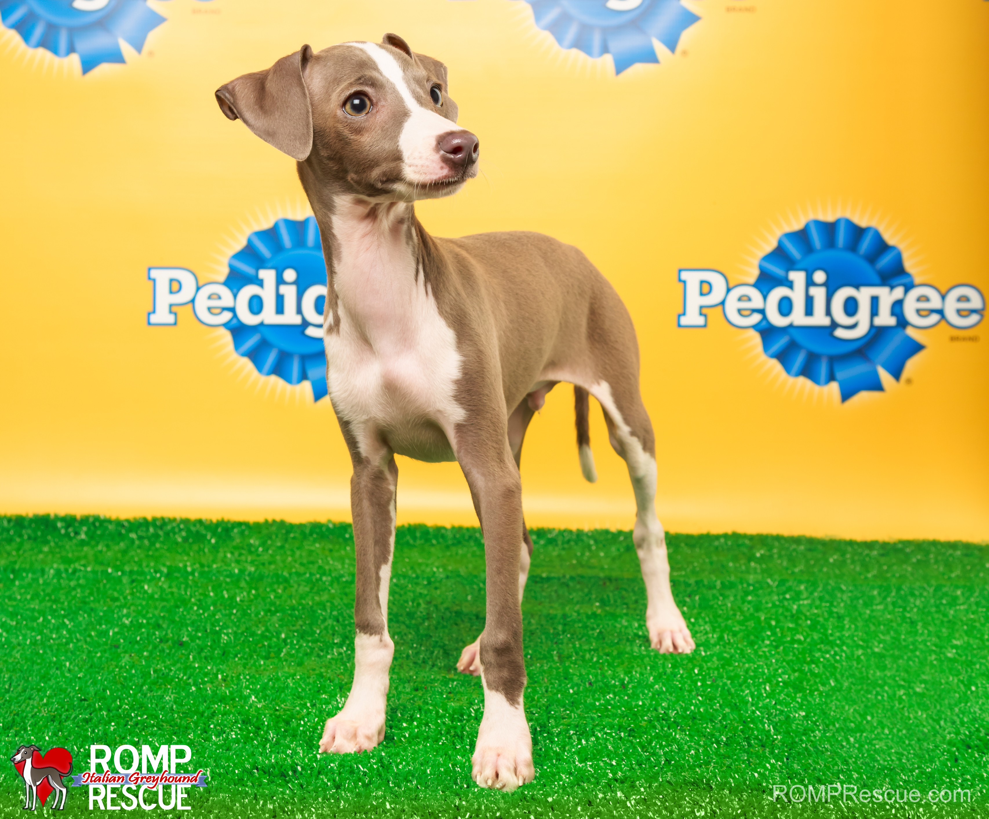 Animal Planet, puppy bowl x, italian greyhound, puppy bowl, iggy, sharpie, romp rescue, chicago, illinois