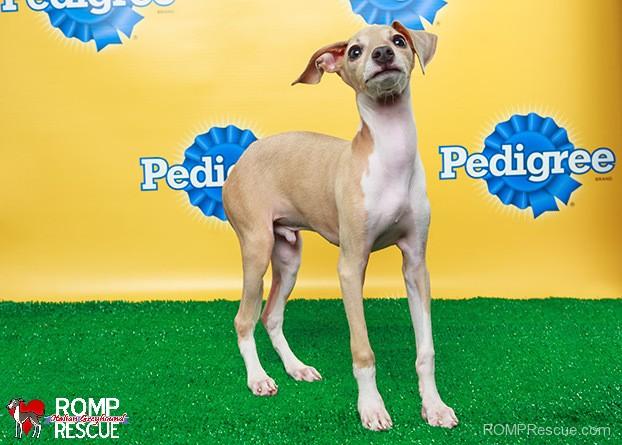 italian greyhound, puppy bowl, puppy, animal planet, x, 2014, sharpie, taser, romp, rescue, chicago, illinois, iggy, ig, puppy bowl x, animalplanet, puppybowl,mvp, teamtaser, teamsharpie