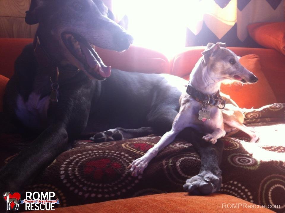 italian greyhound, greyhound, differences, miniature greyhound, what is, Italian Greyhound vs Greyhound