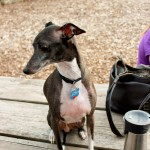 april play date, april, doggy play date, dog play date, puppy play date, play date, playdate, meetup, meet up, chicago, illinois, outdoor, dog park, italian greyhound, puppies, wood dale,