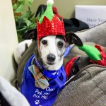wheatland animal hospital, rescue, holiday, party, event, italian greyhound, romp rescue, iggy, christmas, vet, naperville