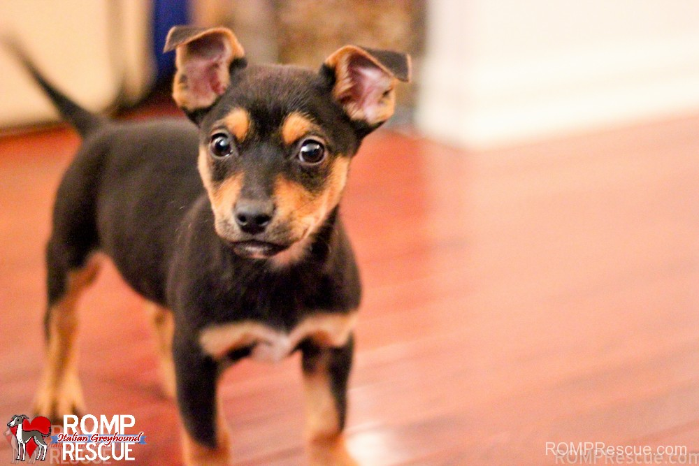 terrier, puppy, chicago, rescue, adopt, adoption, shelter, illinois