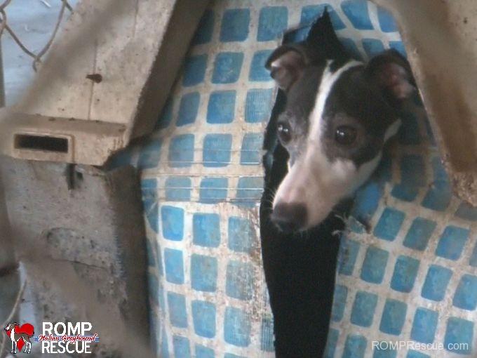 italian greyhound, arkansas, puppy mill, raid, bust, busy bee, iggies, itailian greyhound, italian greyhounds, rescue, hsus, human, society