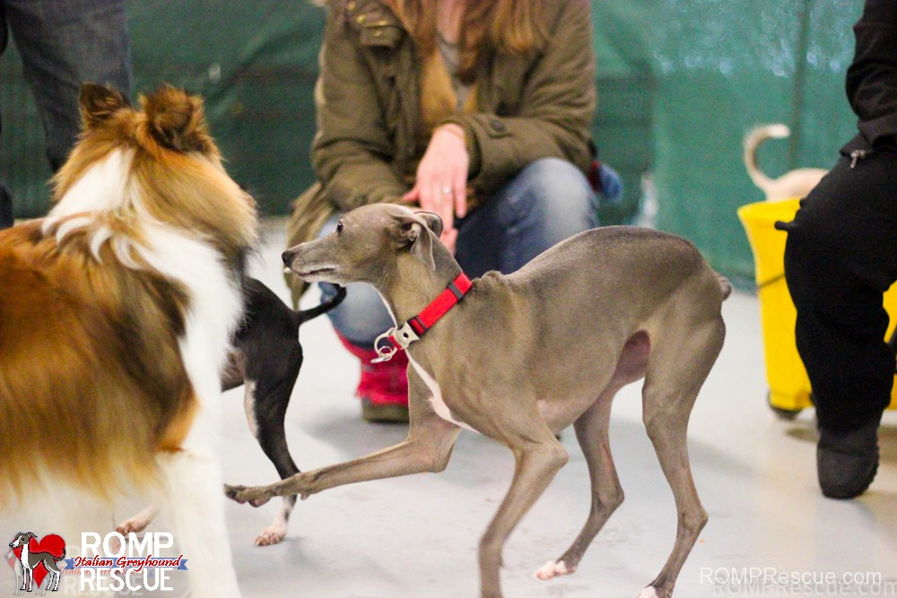 Chicago, dog, puppy, play date, indoor, meetup, free, small dog, italian greyhound