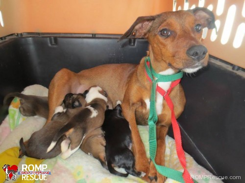 Chicago puppies need foster homes, chicago, puppies, puppy, foster, homes, home, foster home, foster families, family, foster family