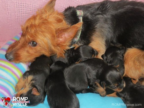 Chicago puppies need foster homes, puppies, australian terrier, terrier, australian, chiciago, puppies, foster, puppy